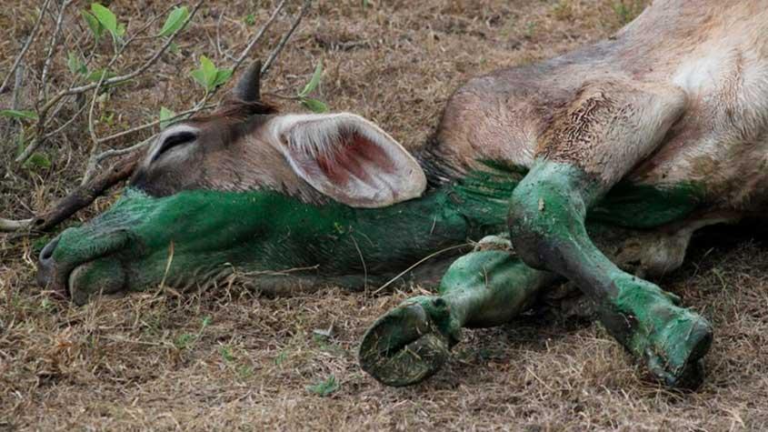 En Veracruz muere ganado y peces por contaminación de lagunas
